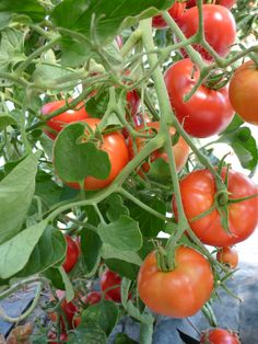 Grow some in your garden. Tomatoes are said to help promote good skin as it is packed with  vitamins A, C and E. It's also a good source of Lycopene which is good for the #heart.