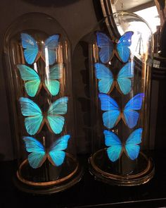 Two beautiful antique domes filled with blue morpho butterflies on their way to a clients wedding table #weddingplanneruk #events #eventstyling #hotels #functions #decorative #interiors #entomology #butterflies #Digs #Brighton