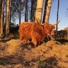 Highland Cattle Cow #highlandcattle #highlandcow #cow #cows #cattle #cowsofinstagram #牛 #nature #finland #landscape #horns #farmlife #countrylife #Farm #countryside #rural #lehmä #countrylifestyle1 #leppävirta #ylämaankarja #ig_countryside #ig_highlandcows #pocket_farms #lifeonthefarm #farmanimals #goodhairday #country_features Scottish Highland Cow, Highland Cattle, Scottish Highlands, Watch Dance Moms, Farm Yard, Cows, Land Scape, Beautiful Creatures, Finland