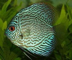 This is a discus.  Originally from the Amazon River basin, they are an aquarium favorite -- but not for beginners.