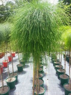 "Casuarina Glauca ""Cousin It"" Standard Cousin It Sheoaks have has a thick head of… Australian Plants, Australian Garden, Hello Hello Plants, Formal Garden Design, Dwarf Trees, Easy Care Plants, Garden Makeover, Formal Gardens, Types Of Soil"
