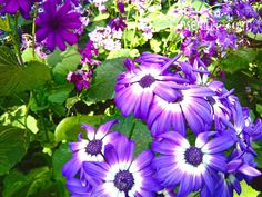 These flower images are very beautiful. Botanical name: Pericallis x Hybrida and Family: Asteraceae (Sunflower family). These flower. Flower Images, Flower Pictures, Sunflower Family, Plant Species, Winter Season, Beautiful Flowers, Bloom, Seasons, Purple