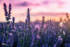 Lavender fields in Provence - France Lavender Aesthetic, Nature Aesthetic, Purple Aesthetic, Spring Scenery, Exposition Photo, Casas The Sims 4, Farmhouse Paint Colors, Forest Background, Sunset Wallpaper