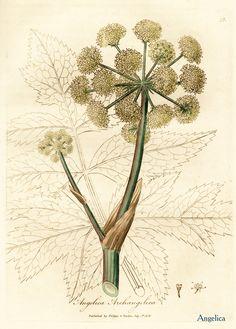 Angelika je jedan od najboljih biljnih lekova protiv psorijaze.