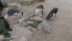 Penguins at Victor Harbour, South Australia.