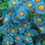 Blue fringe daisy