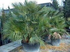 Chamaerops humilis - Palma di San Pietro