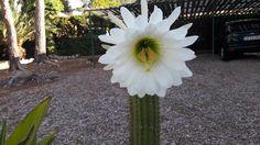 Belleza efímera de la flor del cactus, solo dura un dia.