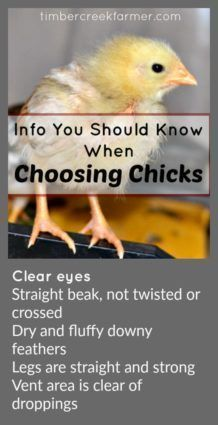 How to Choose Chicks for Your Flock