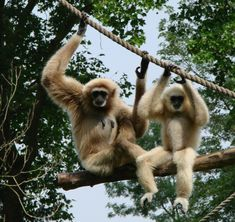 gibbons hanging out