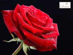 LAS MEJORES FLORES A DOMICILIO. ¿Conoce el significado de regalar flores en color rojo? Es el color más llamativo y es asociado a la pasión, fuerza, valentía, vigor y seducción. La flor que reúne todos estos significados por excelencia es la rosa y en Lilum le ofrecemos las rosas rojas más hermosas y frescas. Le invitamos a concer nuestros diseños a través de nuestra página de internet. www.lilium.mx