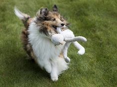 Backyard play | Dillon | SheltieBoy | Flickr