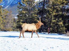 Der Wapiti ist eine Säugetierart aus der Familie der Hirsche. Er fasst die in Nordamerika lebenden Tiere samt einigen ostasiatischen Unterarten zusammen, die früher allesamt als Unterart des Rothirschs geführt wurden. #Ski #USA #Reisen - http://www.canusa.de/usa-reisen/skireisen-usa.html#tab-6