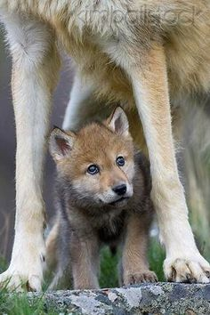 Gray Wolf Pup Standing Under Mother for protection | Photographer Klein-Hubert/ KimballStock | Image : WOV 09 KH0017 01