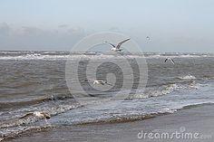 Seagulls flying at Dutch coast