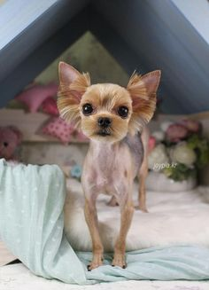 Cute yorkie head if I have to shave some poor matted yorkie naked like this Animals And Pets, Baby Animals, Cute Animals, Yorkie Haircuts, Yorky, Yorkshire Terrier Puppies, Yorkie Puppy, Chihuahua Love, Pet Grooming