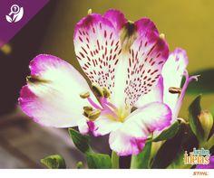Você sabia que as flores de Astromélia apresentam seis pétalas: ou todas idênticas ou quatro pétalas iguais e duas pétalas diferentes? Essa característica sinaliza o pouso para os insetos polinizadores. Bacana, né? Mais uma curiosidade para você: o nome dessa flor significa felicidade.
