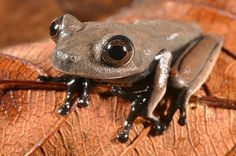 Newly discovered species, the Cocoa frog (Hemigrammus aff. Ocellifer). http:// WhatIsTheBestMountainBike.com