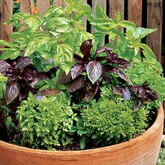 Plant a pot of pesto: The pot pictured here combines several types ― 'Sweet' and 'Profuma di Genova' in back (these mild-tasting green basils make the best pesto), 'Red Rubin' (a spicier, more pungent basil that's striking in salads and vinegar), and 'Windowbox' (a flavorful, compact, 6- to 9-inch-tall basil; good on fish or for sprinkling into sauces or salads).