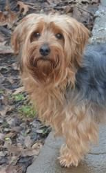 Miss Bella is an adoptable Yorkshire Terrier Yorkie Dog in Greensboro, NC. To pursue this adoption, you must first complete an Adoption Application which is located under the Online Forms tab at www.N...