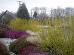 This section of the UW Botanical Gardens (photo taken in January) demonstrates how you can use winter-blooming heathers, ornamental grasses, low growing non-green conifers, and deciduous shrubs with colorful stems for a dramatically interesting winter garden!  All the plants here are posted on this board.