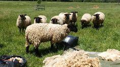 Rikki's Refuge Goats and Sheep #162 www.rikkisrefuge.org  (Sheep Shearing on 5/15/15 - Photo #15)