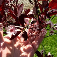 My Purpleleaf Sand Cherry bush is in full bloom!  Copyright © 2015 Tofu Fairy's Brain Pile - All Rights Reserved  #spring #nature #flower #sandcherry #purpleleafedsandcherry