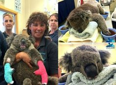 Meet Jeremy, he's a koala living across the states of South Australia and Victoria. Recently, a series of brushfires has led him to flee his home, leaving him with second-degree burns on all his paws. He's had to wear mittens to protect his paws from further damage. It's adorable yet heartbreaking.