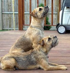Border Terriers The Affen Terrier is not a purebred dog. It is a cross between the Affenpinscher and the Border Terrier. The best way to determine the temperament of a mixed breed is to look up all breeds in the cross Terrier Dog Breeds, Terrier Mix, Pitbull Terrier, Terriers, Best Dog Breeds, Best Dogs, Purebred Dogs, Brown Dog, Little Dogs