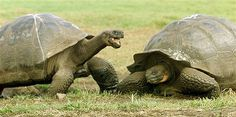 Image: GIANT TORTOISES IN THEIR NATURAL ENVIRONMENT IN GALAPAGOS (© GUILLERMO GRANJA//Reuters)