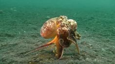 Shell game. How octopus preys on rock crab.