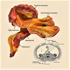 Los nuevos alumnos de medicina van a tener que aprender un nuevo órgano. Un cirujano irlandés identifica un órgano humano totalmente nuevo.
