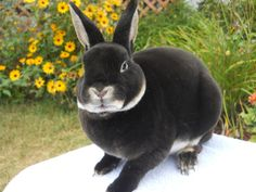 Mini Rex Rabbit this is the kind of bunny I am getting They are so soft! (he's like howard from his 'big dig')