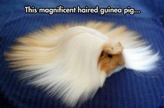 The magnificent haired guinea pig. May you have as good a hair day as this guinea pig is currently having.