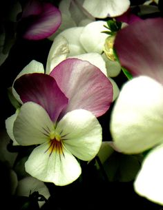 Pansy-pansies are like an  everyday flower