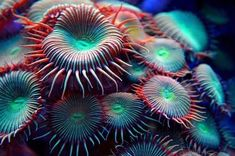 Everything you should know about the Sea Anemone. The Sea Anemone is a color sea creatures that adheres to a surface and attracts prey to it. Sea Aquarium, Saltwater Aquarium, Coral Reef Aquarium, Aquarium Design, Freshwater Aquarium, Underwater Creatures, Ocean Creatures, Coral Reef Art, Coral Reefs