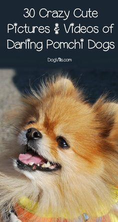 Get ready for cuteness overload! We've got 30 of the cutest pictures and videos of pomchi dogs! If these teacup and black pomchi pics don't brighten your day, I don't know what will! Let's check them out!