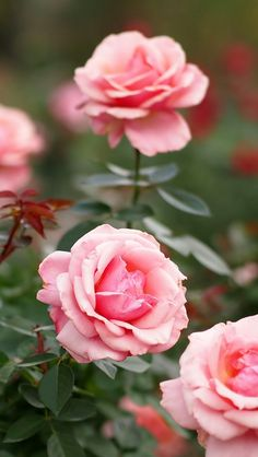 Roses Flowers Petals Pink iPhone Wallpapers