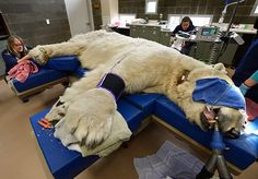 Head veterinarian Karen Wolf trims the claws of Boris the polar bear at an animal hospital in Tacoma, Washington, US Dental Health, Dental Care, Oso Polar, Polar Bears, Zoo Veterinarian, Veterinarian Technician, Animal Doctor, Vet Clinics, Tacoma Washington