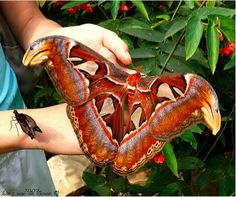 Atlas Moth  That's a pretty big Moth!