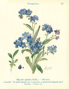 Myosotis sylvatica (Wood Forget-Me-Not) by J. Eudes (1856-1938). Plate from  'Les Fleurs de Jardins' (Les Fleurs de Printemps) published by Paul Lechevalier (1929).Wikimedia