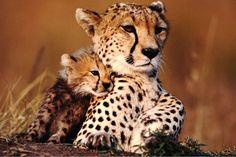 Cheetah Cub Cuddling up to Mother, Masai Mara, Kenya by Anup Shah Beautiful Creatures, Animals Beautiful, Planeta Animal, Jaguar, Baby Cheetahs, Baby Animals, Cute Animals, Cheetah Cubs, Cheetah Family