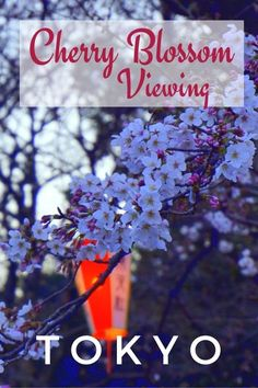 Guide and tips to viewing cherry blossoms and hanami picnics at Ueno Park in Tokyo, Japan. See the other park attractions and the Japanese cultural attraction during Spring.