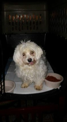 Reinaldo Torres‎New Britain Police for Pups January 14 ·    I found this Maltese female Dog she needs medical attention she has tumors in her chest, no teeth her tail is broken she dont trust no one she was abused badly i hope her owner shows up :( cant have her in apt can get evicted but who will ignore this beauty?
