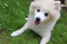 Japanese spitz Pomeranian :0)