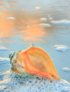 Whelk shell in the seafoam, Hatteras Island. Pictures of the Outer Banks by Dan … Whelk shell in the seafoam, Hatteras Island. Pictures of the Outer Banks by Dan Waters Hatteras Island, I Love The Beach, Ocean Beach, Beach Relax, Shell Beach, Ocean Sunset, Ocean Art, Summer Beach, Ocean Life