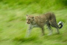 Leopard Pan, February 2013 | David Lloyd Wildlife Photography