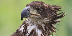 Birds of prey Birds Of Prey, Bald Eagle, Nature, Animals, Naturaleza, Animales, Animaux, Animal, Animais