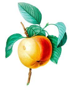 """Waterslide Decals (4pcs 2.5""""x3.5""""each) Apricot FLONZ 0742 Vintage Fruit #Flonz"""