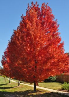 Deciduous Trees, Trees And Shrubs, Trees To Plant, Autumn Blaze Maple, Types Of Mulch, Red Maple Tree, Street Trees, Gardens, Vivarium